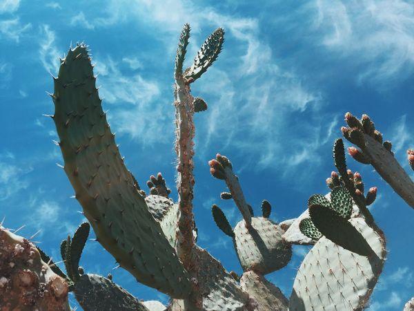 My Favorite Cacti Garden Cactus Dayadventures Blueskies Beautifulday Old Town San Diego California