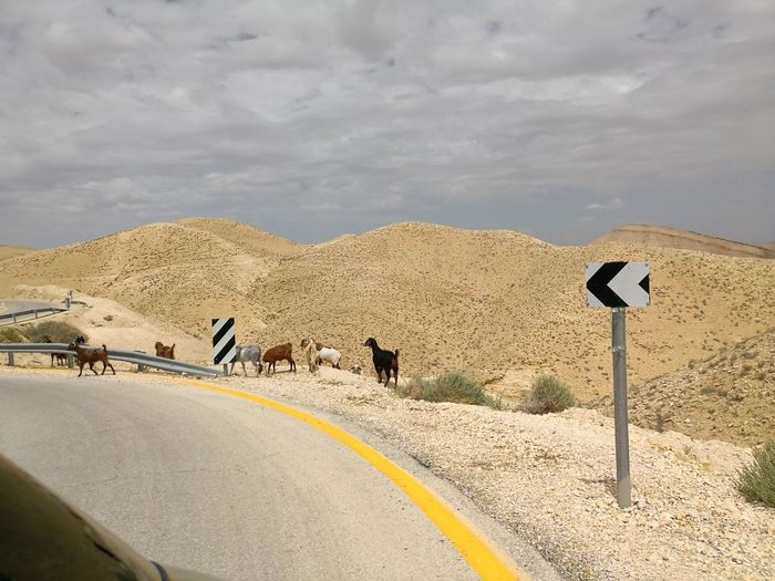 Street in the Judean desert in Palestine with goats Panoramic View Palestine Judean Desert Judaean Desert Goats Goat EyeEm Selects Desert Arid Climate Road Adventure Full Length Sky Landscape Cloud - Sky Barren Working Animal Extreme Terrain Physical Geography Rocky Mountains Arid Landscape Sand Dune Arid Geology Rugged Eroded Road Sign Hiker Drought