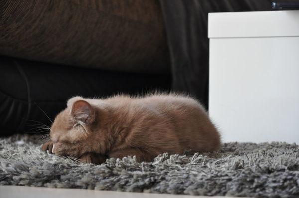 sleeping Kitten Animal Themes Bkh Cat Katze Katzen 💜 Katzenfoto Kitten 🐱 Kätzchen One Animal Pets Relaxation