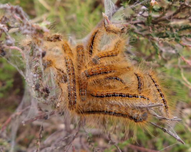Caterpillar Rupsen Kzoom