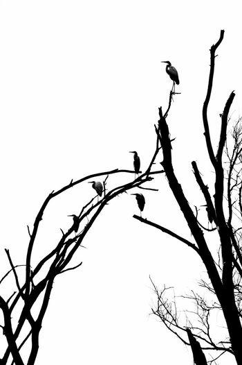 Egrets Black