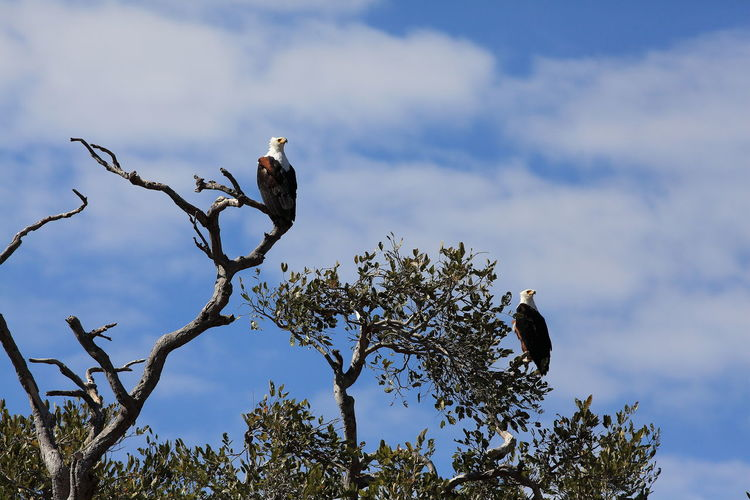 African fish eagles in the Okavango Delta, Botswana Africa African Fish Eagle Animal Themes Animals In The Wild Botswana Fish Eagle On A Branch Low Angle View Okavango Delta Perching Perching Eagle Staring At Me Two Is Better Than One Wildlife