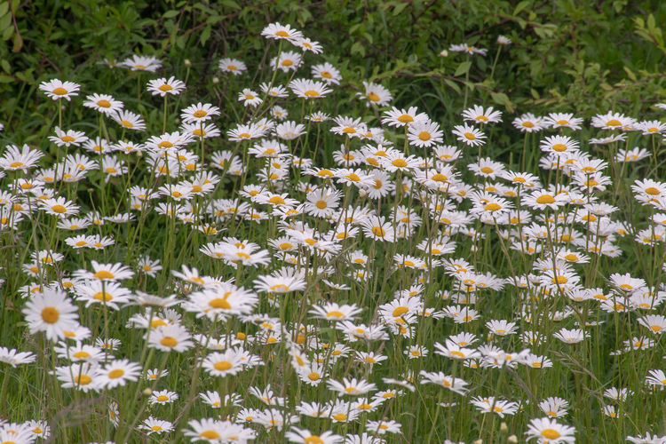 Large group of wild daisies Growing Natural Wildflower Beauty In Nature Buttercup Field Flower Flower Head Flowering Plant Fragility Nature Petal