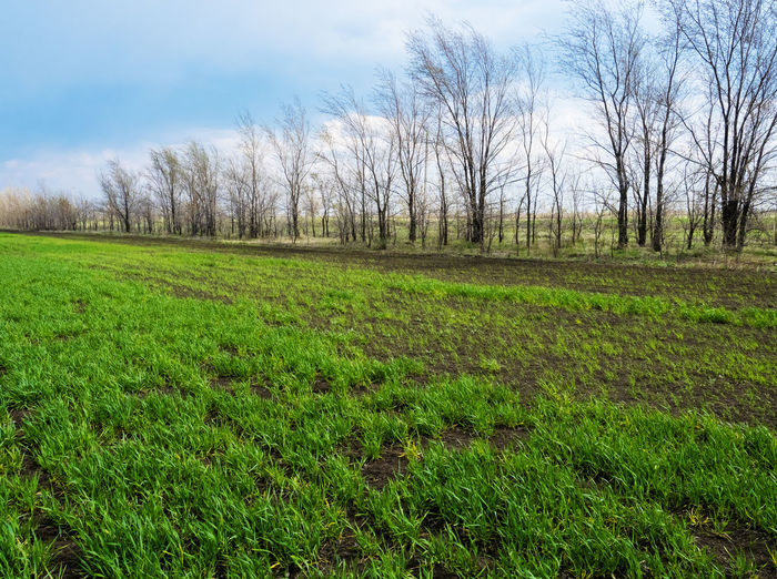 Winter wheat sprouts Plant Grass Tree Land Green Color Landscape Tranquility Sky Nature Tranquil Scene Environment No People Day Scenics - Nature Field Non-urban Scene Bare Tree Growth Beauty In Nature Cloud - Sky Outdoors WoodLand