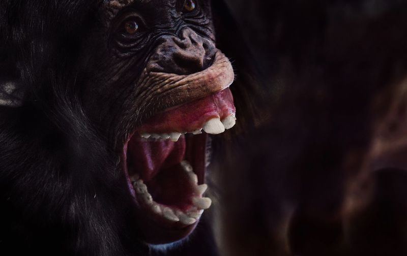 - G O O O O A A A L - Telling Stories Differently Check This Out Animal Animal Photography Animals In The Wild Goal Hooligan Monkey Chimpanzee Dark Domestic Animals Scream Teeth Black Hair Animals Animal Head  Monkey Love Photography Photo Today's Hot Look Close Up Portrait Closeup The Photojournalist - 2016 EyeEm Awards Nature's Diversities