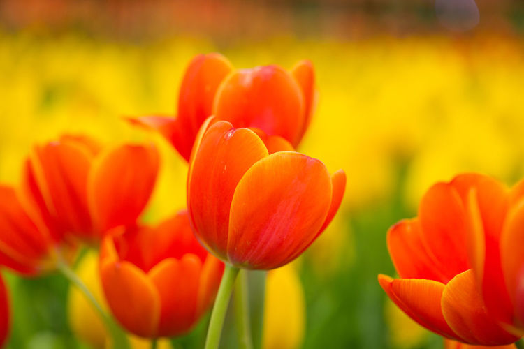 Tulips🌷 Flower Flowering Plant Plant Beauty In Nature Freshness Fragility Vulnerability  Petal Growth Close-up Flower Head Inflorescence Tulip Nature No People Red Focus On Foreground Day Orange Color Field Outdoors Flowerbed Springtime Softness