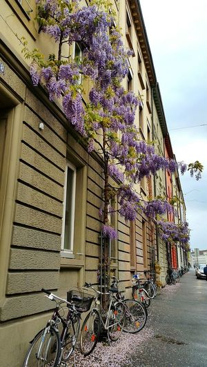 Bicycle Architecture Built Structure Building Exterior Day Flower Outdoors Architecture_collection Houses Basel, Switzerland Walking Around The City  Basel Architecture Residential Building Flowers, Nature And Beauty Purpleflower Purple Purple Flowers Lilac Flower Beauty In Nature