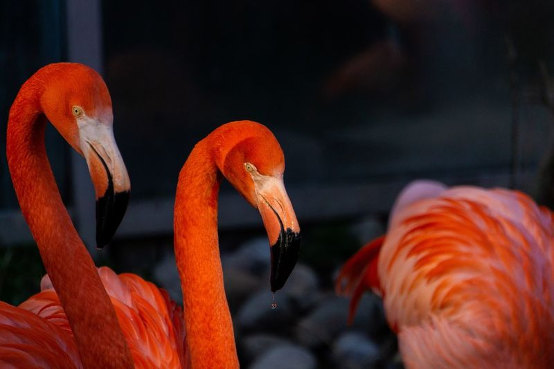 Droping Red Color Orange Color Sony A6000 Flamingos Up Close Flamingos In Water Waterdrops Flamingo EyeEm Selects Orange Color Animal Themes Animal Wildlife Animals In The Wild Animal Close-up Vertebrate Sea One Animal Flamingo Water Marine Sea Life Underwater No People Beauty In Nature Indoors  Focus On Foreground EyeEmNewHere EyeEmNewHere