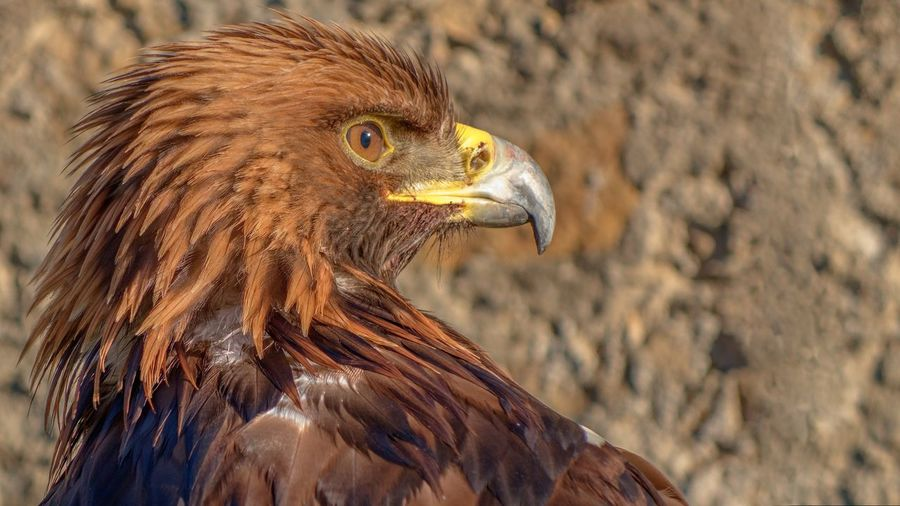 Animal Eye Beak Bird Bird Of Prey Brown Focus On Foreground Nature No People One Animal Side View