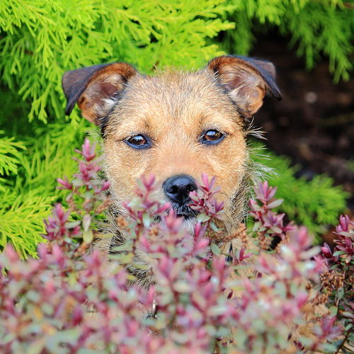 Spot the dog Alertness Animal Animal Themes Brown Close Up Close-up Curiosity Day Dog Domestic Animals Flowers,Plants & Garden Focus On Foreground Garden Garden Photography Hiding Hiding In Plain Sight Hiding Out Hidingplace Home In My Garden Mammal No People One Animal Pets Selective Focus