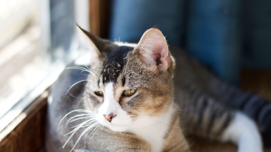 Domestic Cat Pets Domestic Animals Mammal Feline Focus On Foreground Animal Themes One Animal Whisker Portrait No People Close-up Indoors  Day Adorable Cute Cute Pets Cute Cats Pensive Thoughts Thoughtful Gaze Gazing