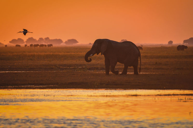 Elephant walking in sunset African Elephant Animal Animal Themes Animal Wildlife Animals In The Wild Beauty In Nature Day Elephant Mammal Nature No People One Animal Outdoors Sunset