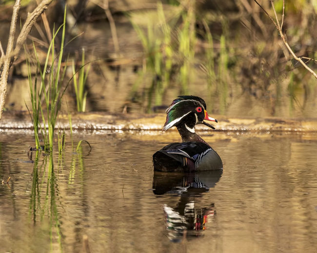 A beautiful wood duck out for a swim on a gorgeous spring day. Water Reflection Bird Animal Themes Animals In The Wild Animal Wildlife Animal One Animal Nature Outdoors Wood Duck  Duck Wildlife Colorful Swimming Waterfowl Ornithology  Birdwatching Beak Open Mouth Carolina Duck Aix Sponsa Waterbird Wall Decoration Home Decor Office Decor Vibrant Colors Avaiable Light Natural World Natural Beauty