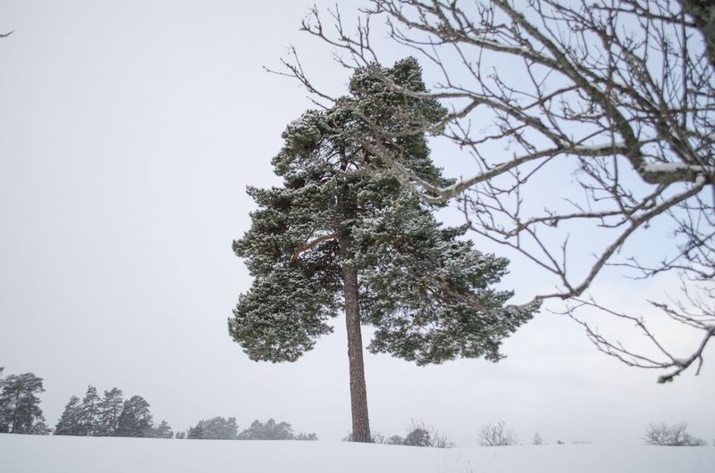 Almost a lonely tree Sweden Lonely Winter Tranquility Tranquil Scene Cold Temperature Low Angle View Growth Beauty In Nature No People Outdoors Snow Scenics Tree Trunk Day Clear Sky Bare Tree Sky
