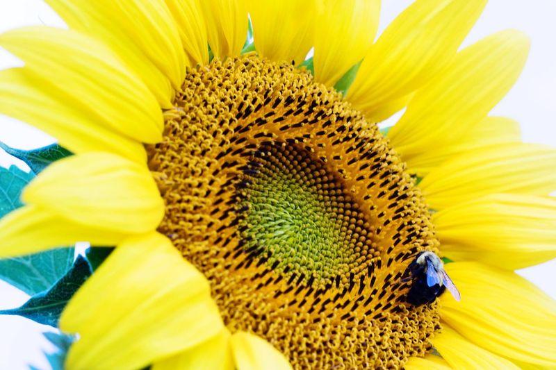 Petal Yellow