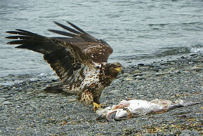 The Great Outdoors - 2016 EyeEm Awards Eye4photography  Young Eagle Check This Out EyeEmBestPics EyeEm Best Shots Nature Photography Bird Of Prey Port Angeles Washington Beach Eagle Eagle Portrait