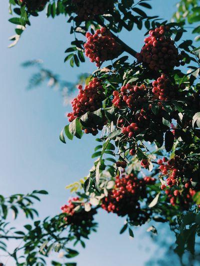 Rowan Plant
