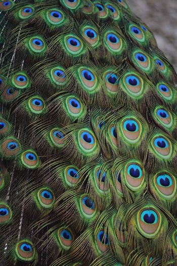 Peacock Peacock Feather Fanned Out Feather  Bird One Animal Animal Themes Animal Wildlife Multi Colored Showing Blue Animals In The Wild Close-up Nature Beauty In Nature Full Frame Outdoors No People Tail Day Nature_collection Backgrounds Beauty In Nature Animals In The Wild Animal