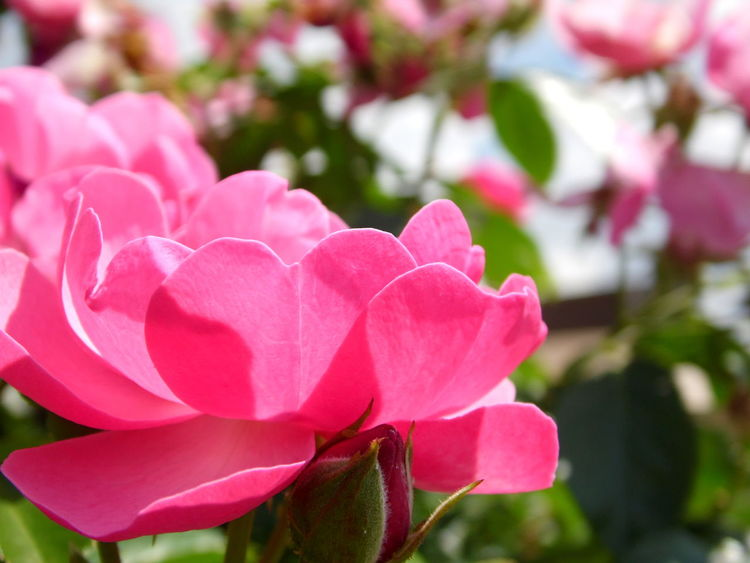 Pink Petals Pink Rose Pink Roses Close-up Beauty In Nature Blooming Close-up Day Flower Flower Head Focus On Foreground Fragility Freshness Growth Nature No People Outdoors Periwinkle Petal Pink Color Pink Roses Plant Rose - Flower In Bloom Plant Life Blossom Botany