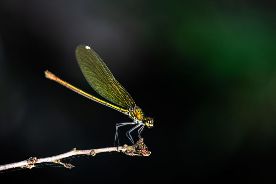 Calopteryx Splendens Dragonfly Animal Animal Body Part Animal Themes Animal Wildlife Animal Wing Animals In The Wild Banded Demoiselle Black Background Close-up Damselfly Day Dragonflies Golden Hour Green Color Insect Invertebrate Leaf Nature One Animal Outdoors Plant Plant Part Twig