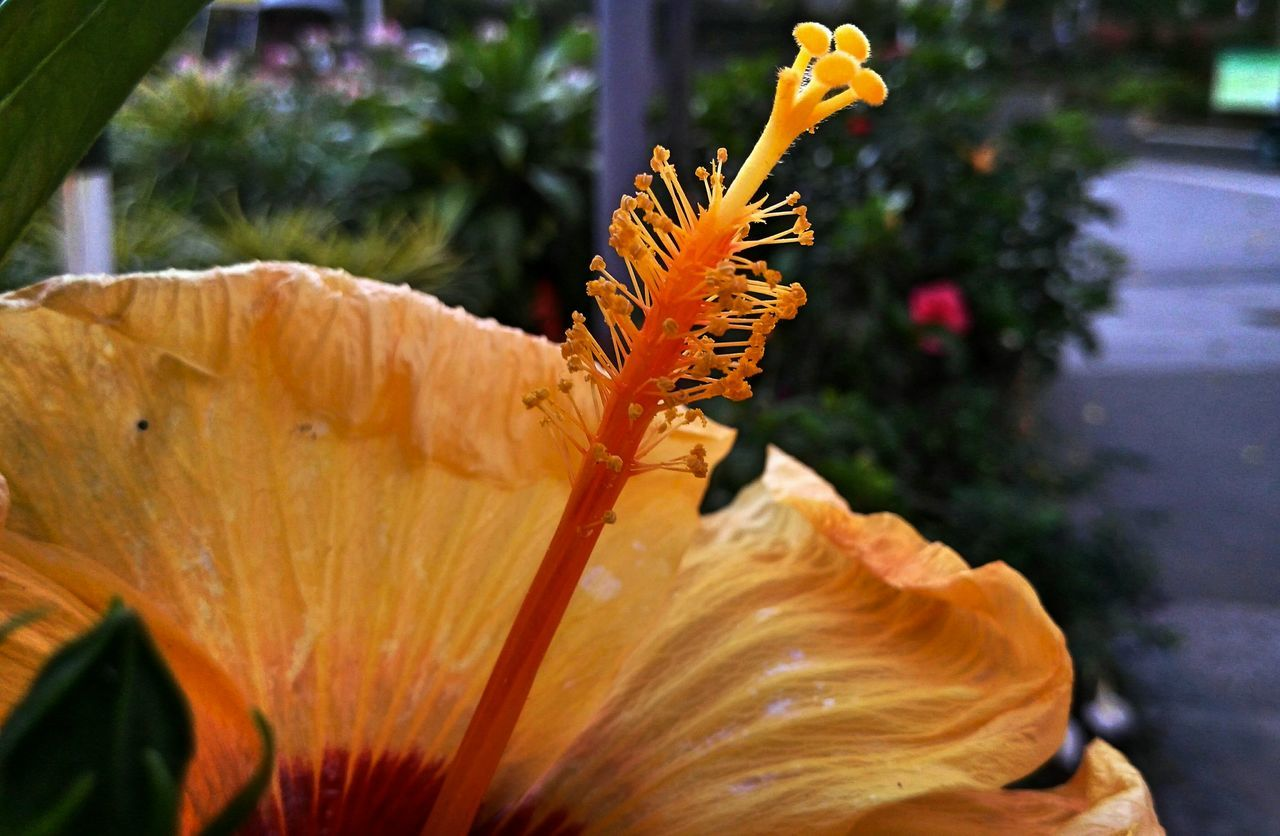 flower, plant, nature, growth, close-up, fragility, outdoors, petal, flower head, no people, day, beauty in nature, freshness, blooming, hibiscus, animal themes