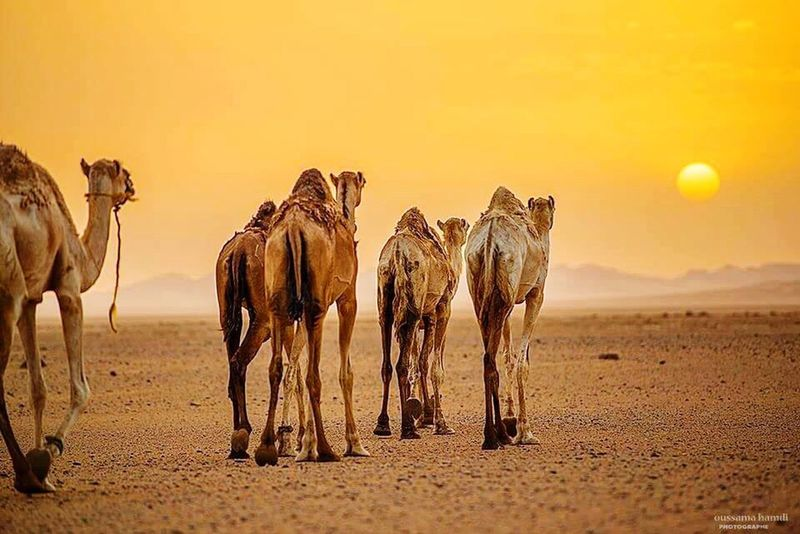 Desert EyeEm Beauty In Nature Camel Desert Sunlight Sunset Herd Arid Climate Orange Color Cowboy Animal Wildlife Livestock Three Animals Horse Sand Dune Full Length Animals In The Wild Outdoors Nature Group Of Animals Adventure Agriculture sahara - algérie
