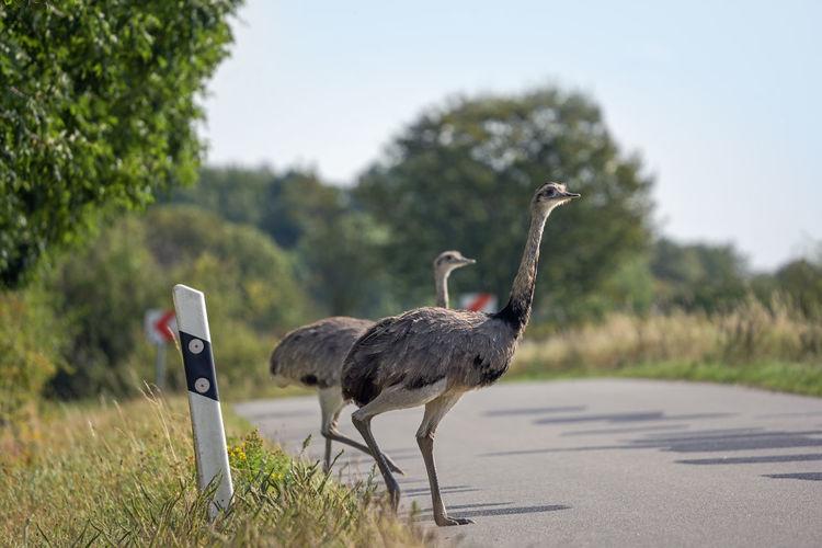 Mallard duck on the road