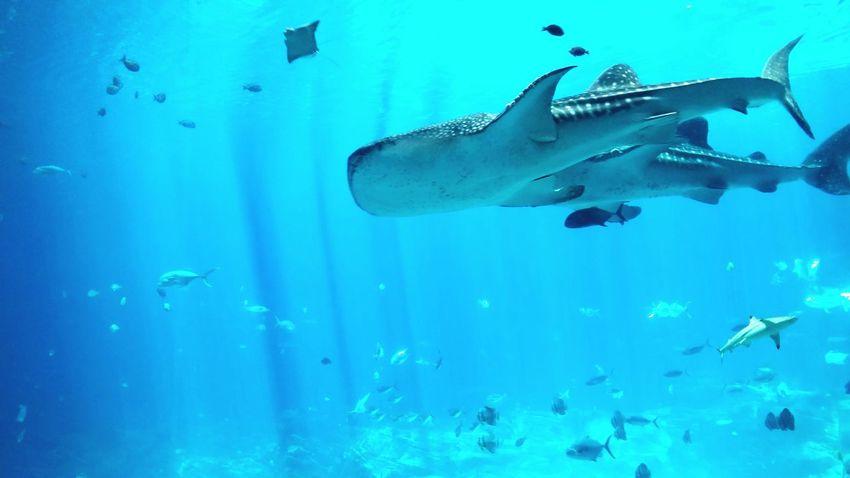 Whale Sharks Taking Photos Fishing Ocean Enjoying Life