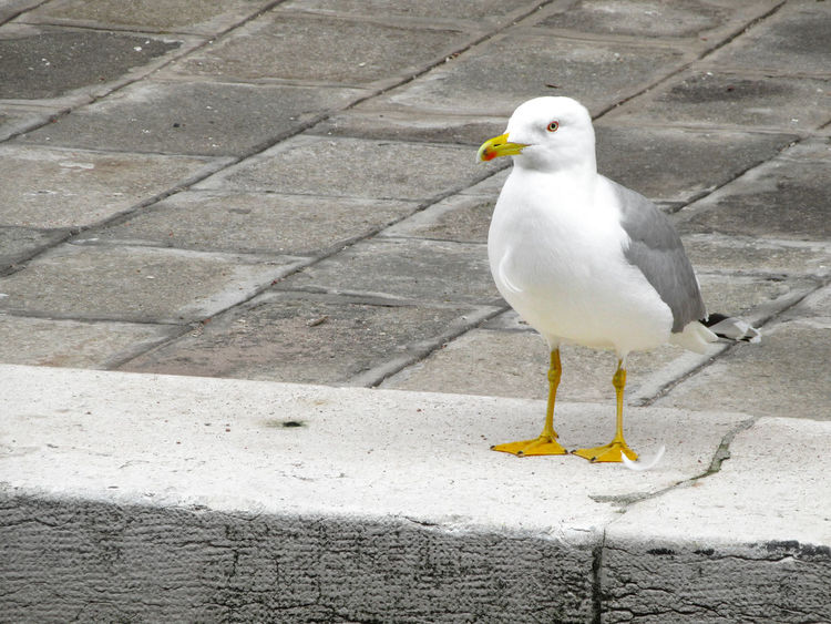 Seagull on marble stone Venetian foundations Animal Themes Animal Wildlife Animals In The Wild Bird Close-up Copy Space Day Foundations Marble Marbledstone Nature No People One Animal Outdoors Perching Sea Bird Seagull Venice, Italy White Color