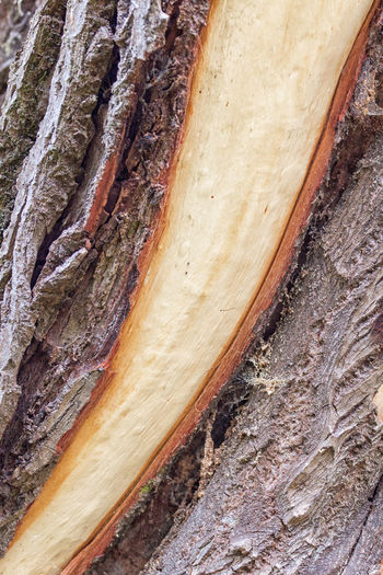 Tree trunk with detached bark - storm break after a storm Bark Bark Texture Bark Texture Background Barks Of A Tree Baum Baumrinde Bäume Close-up Day Food Indoors  Macro Macro Photography Nature No People Rinde Storm Storm Breaking Sturmbruch Textured  Tree Tree Trunk Trunk Trunk Tree