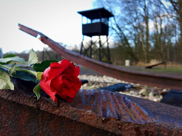 Kamp Westerbork WWII Monument Jews War Ww2 Westerbork Westerbork Camp Detention Transit WWII WW2 Fence Barbed Wire Kamp Westerbork Train Tracks Train Spoor Trein Roos Flower Plant Nature Red Rosé Focus On Foreground