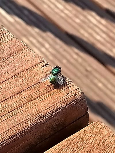 Common greenbottle or blowfly shining brightly in the sunshine on a wooden picnic table. Blowfly Fly Animal Animal Themes Animal Wildlife Animals In The Wild Bird Brown Close-up Day Greenbottle High Angle View Insect Insects  Invertebrate Nature No People One Animal Outdoors Plank Sunlight Textured  Vertebrate Wood - Material