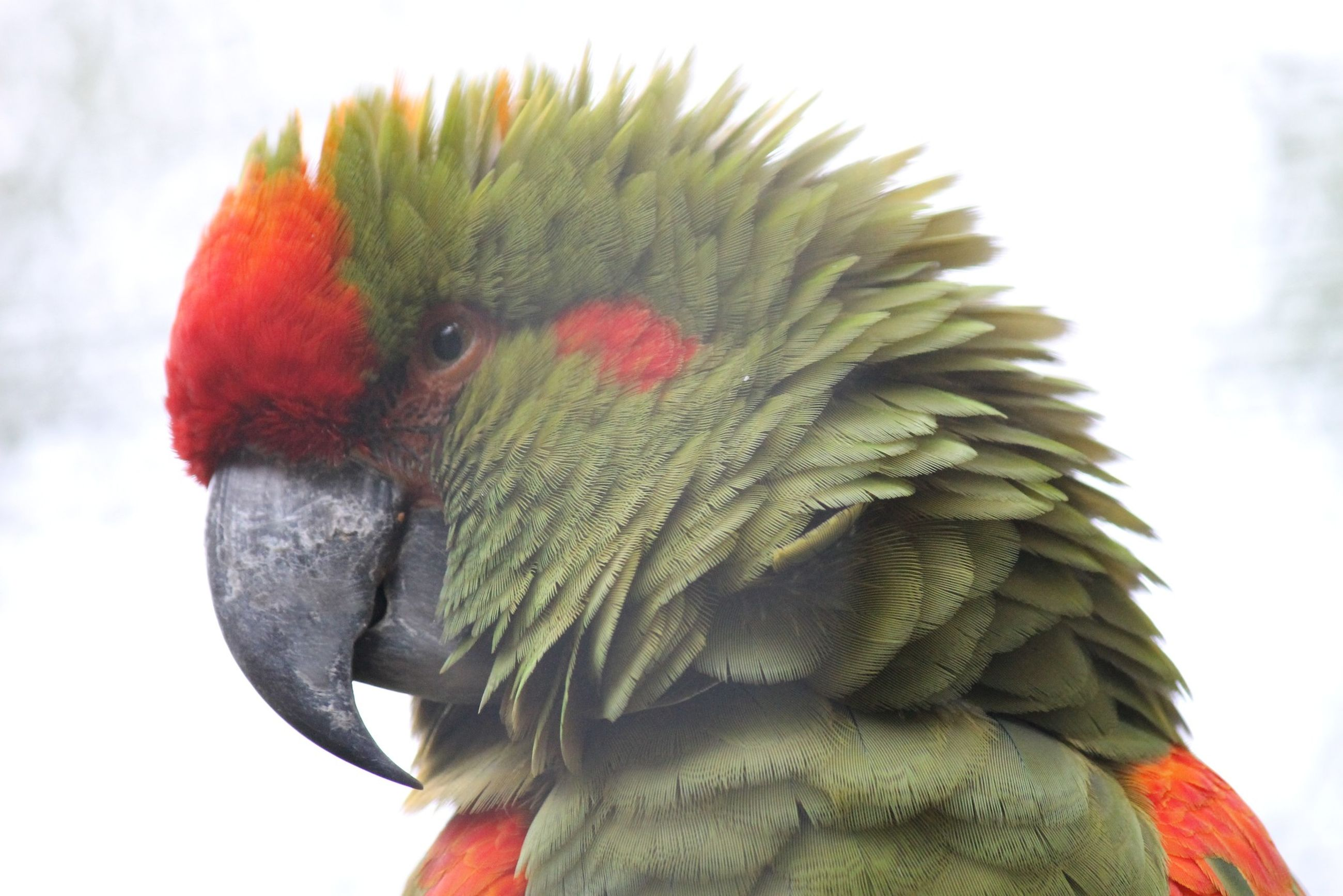 one animal, close-up, bird, wildlife, animals in the wild, low angle view, beak, focus on foreground, green color, nature, beauty in nature, red, multi colored, avian, looking, white background, green, zoology, no people