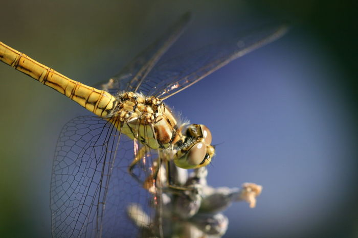 Bugs Life Series _Dragonfly 04 detail Animal Themes Animal Wildlife Animals In The Wild Canon400d Canonphotography Close-up Damselfly Day Dragonfly Insect Macro Photography Nature No People One Animal Outdoors