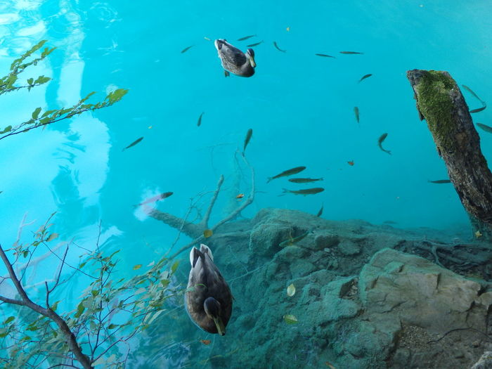 Pesci E Papere Fish Underwater Swimming Animal Themes Water Animals In The Wild Nature Outdoors Beauty In Nature Scuba Diving Living Organism No People Lake Lake View Animal Wildlife Animal Lake Plitvice Plitvice National Park Plitvickajezera Plitvice Lakes National Park Plitvicelake Plitvicer Seen Plitvice Lakes Lakeview Lake Life