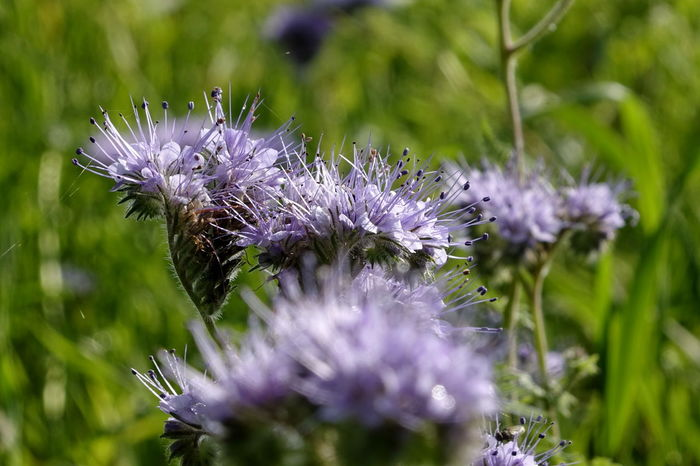 Phacelia Animal Themes Beauty In Nature Bienenweide Blooming Close-up Day Flower Flower Head Fragility Freshness Growth Insect Nature No People One Animal Outdoors Petal Plant Pollination Purple Thistle
