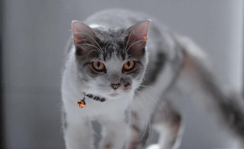 Persia cat Cat Lovers Pets Close-up Whisker Cat Persian Cat  Yellow Eyes Teeth
