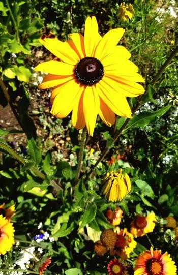 sunflower no