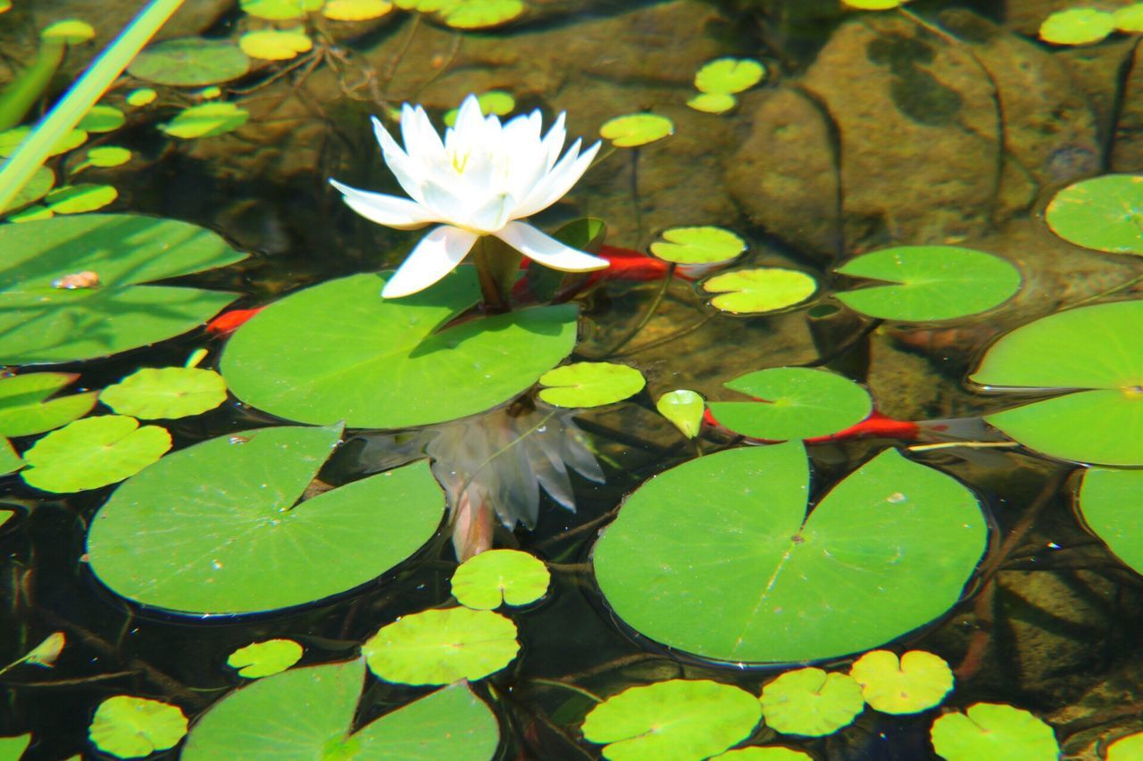 leaf, growth, nature, beauty in nature, freshness, fragility, plant, water, water lily, flower, floating on water, green color, lily pad, outdoors, no people, day, close-up, lotus water lily, flower head