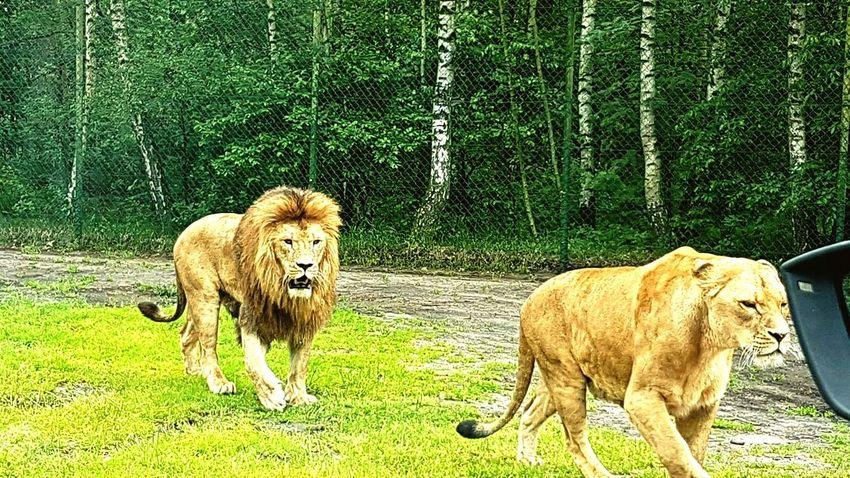 Lion Animal Themes Serengeti-Park, Hodenhagen Nature No People Strong