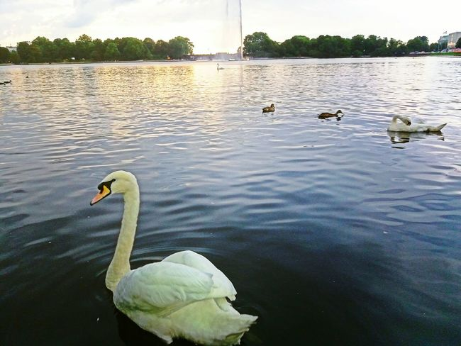 Bird Water Lake Beauty In Nature Floating On Water Swan No People Nature Swimming Outdoors Day Hamburg GERMANY🇩🇪DEUTSCHERLAND@
