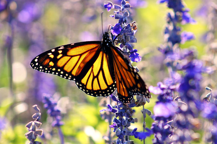 Close up image of a Monarch Butterfly on Lavender Flowers in the Summer. Growth Animal Themes Animals In The Wild Beauty In Nature Butterfly Close-up Day Flower Focus On Foreground Fragility Freshness Garden Insect Lavender Monarch Monarch Butterfly Nature No People One Animal Outdoors Plant Pollination Purple Season  Summer