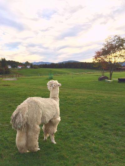 Pasture Nagato-pasture Beautiful Japan Animals Alpaca