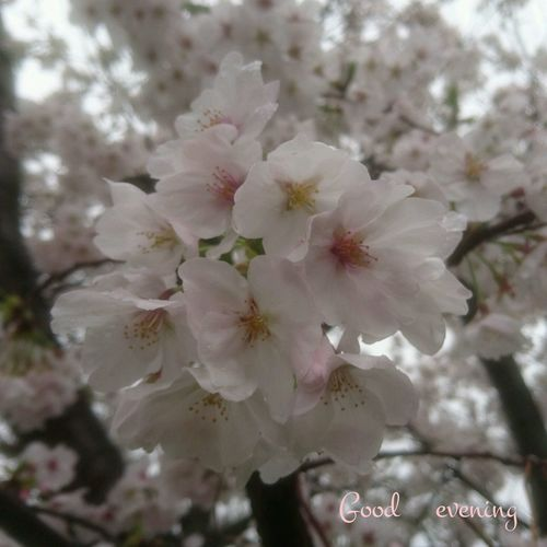 桜の季節に雨の日続くなんて