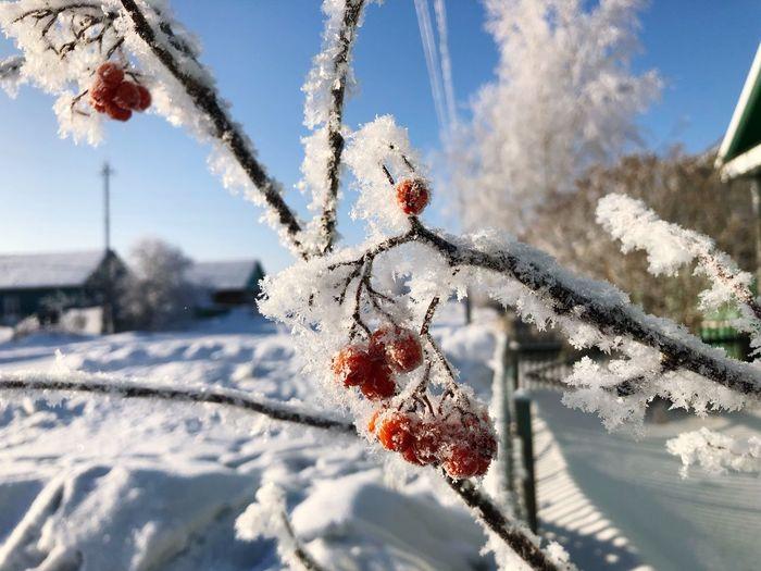 Close-up view of frozen rowanberris in siberia
