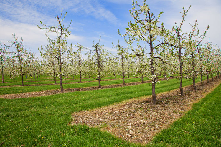 Apple tree plantation Agricultural Land Agriculture Agriculture Apple Blossom Apple Season Apple Tree Plantation Cultivated Land Spring Time