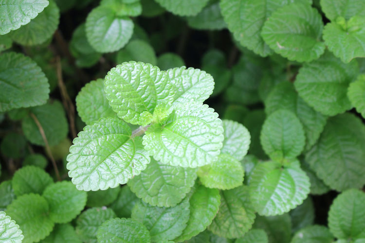 Green mint leaves fresh raw for background Aroma Balm Detail Flavor Flora Foliage Food Fragrance Fresh Freshness Garnish Green Healthy Herb Herbal Ingredient Leaf Menthol  Mint Natural Nature Organic Peppermint Plant Scented Shot Smell Spearmint Spice Twig Green Color Leaves Growth Mint Leaf - Culinary