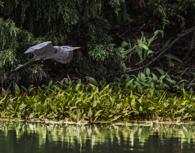 Animal Themes Animal Wildlife Animals In The Wild Beauty In Nature Bird Day Egret Flying Forest Garden Gray Heron Green Color Heron Heron Flying Lake Lush Foliage Nature No People One Animal Outdoors Portrait Swamp Tree Water