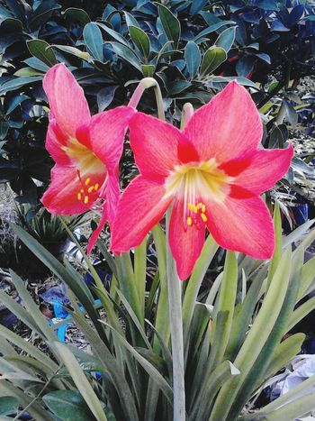 """""""Lilies"""" Flower Collection Flowers Beautiful God's Creation"""