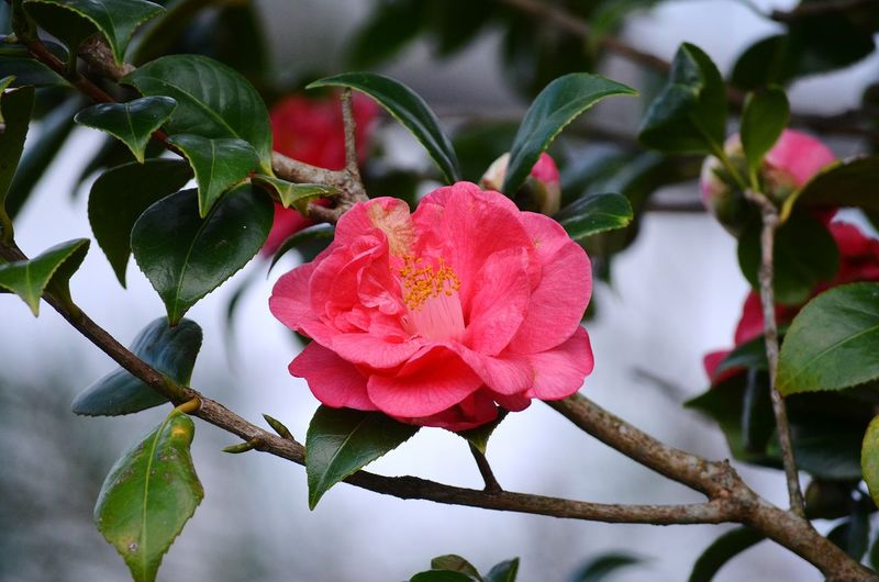 Camélia Camellia Flower Camelia Japonica Flower Head Flower Pink Color Red Petal Tree Leaf Branch Blossom Close-up In Bloom Flowering Plant Botany Plant Life Bud